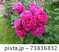 ニュージーランドでつくられた香りのいいバラ、オールド ポート  Old Port 73836832