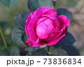 ニュージーランドでつくられた香りのいいバラ、オールド ポート  Old Port 73836834