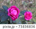 ニュージーランドでつくられた香りのいいバラ、オールド ポート  Old Port 73836836