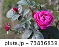 ニュージーランドでつくられた香りのいいバラ、オールド ポート  Old Port 73836839