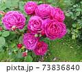 ニュージーランドでつくられた香りのいいバラ、オールド ポート  Old Port 73836840