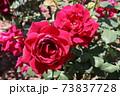 黒赤と呼ばれるバラ、オクラホマ Oklahoma  73837728