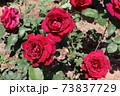 黒赤と呼ばれるバラ、オクラホマ Oklahoma  73837729