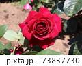 黒赤と呼ばれるバラ、オクラホマ Oklahoma  73837730
