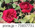 黒赤と呼ばれるバラ、オクラホマ Oklahoma  73837731