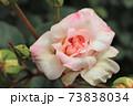 歴史的名花として名高いバラ、オフェリア Ophelia  73838034