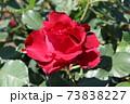 情熱的なシャンソン歌手に捧げられたバラ、オマージュ・ア・バルバラ Hommage à Barbara 73838227