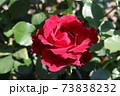 情熱的なシャンソン歌手に捧げられたバラ、オマージュ・ア・バルバラ Hommage à Barbara 73838232