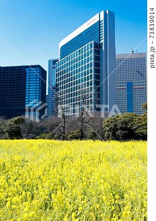 東京都 浜離宮恩賜庭園の菜の花畑と高層ビル 73839014