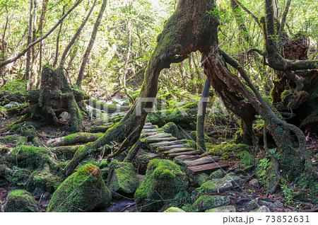 木漏れ日が映える苔むす森。屋久島白谷雲水峡 73852631