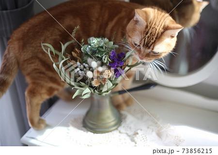 花瓶に生けられた花の香りを嗅いでいるアメリカンショートヘアーの猫 73856215