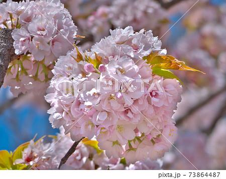 毬のようなひと房に一重と八重と蕾と若葉が混在する、京都御苑の御所御車返し桜 73864487