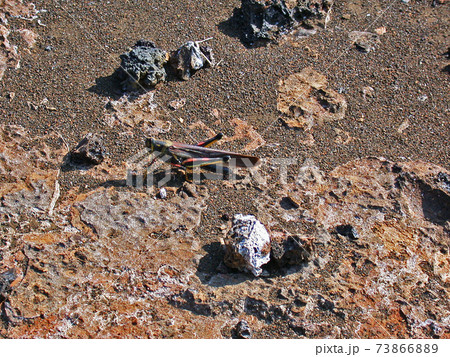 ガラパゴス諸島バルトロメ島の溶岩地帯で生息するバッタ 73866889