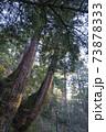 樹齢数百年の2本杉 73878333