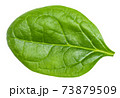 single fresh green leaf of Spinach isolated 73879509