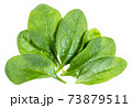 several fresh green leaves of Spinach isolated 73879511