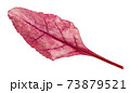 fresh leaf of red Chard leafy vegetable isolated 73879521