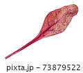 single fresh leaf of red Chard isolated 73879522