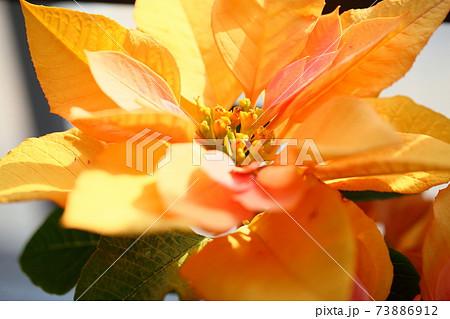ポインセチアの花 73886912