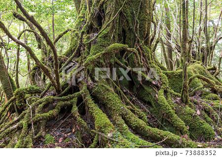 緑に映える苔むす森。屋久島白谷雲水峡 73888352