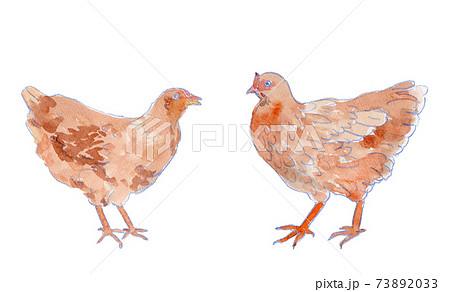 成長途中のニワトリ(雌鶏)の水彩イラスト 73892033