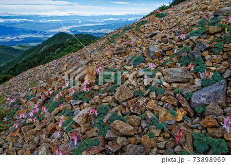 赤岳・権現岳の稜線のコマクサ群落と諏訪湖方面の眺め 73898969