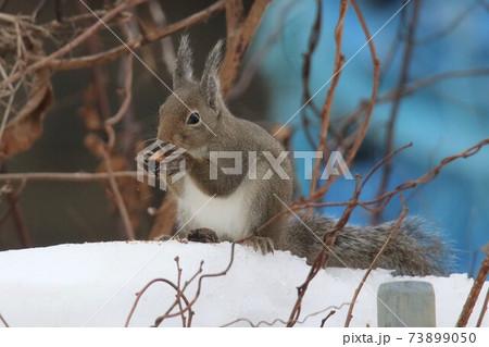 雪の上で木の実をほおばる二ホンリス 73899050