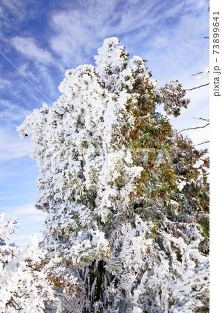 神奈川県・大山の山頂付近の片側が凍り付いた杉の木 73899641