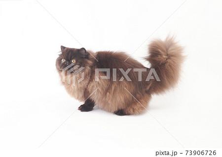 尻尾をあげて振り向くふわふわのペルシャ猫 73906726
