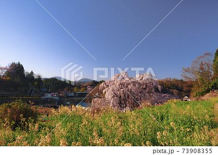 【福島】満開の三春滝桜と菜の花  73908355