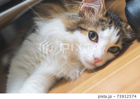 上向き目線のノルウェージャンフォレストキャットの子猫 73912574