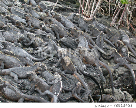 ガラパゴス諸島に集団で生息する海イグアナ 73913453