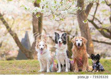 山桜と四頭の犬達 73926320