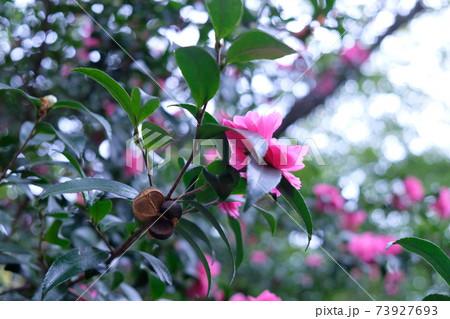 実から種がこぼれそうなサザンカの木 73927693