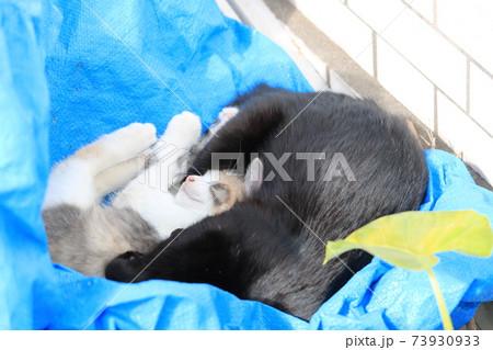 日当たりのいい場所のブルーシートの上でお昼寝をする猫の親子 73930933