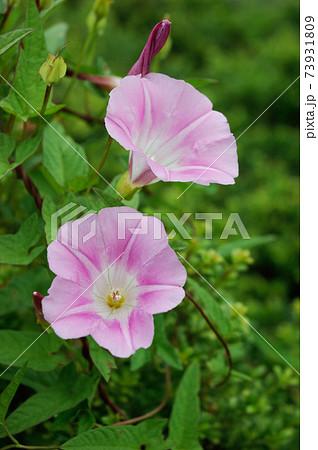 夏の畑のヒルガオの花 73931809