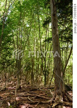 (甲武信岳)登山道、森の中のイメージ 73939924