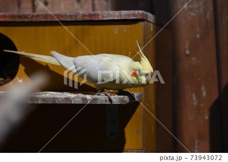 公園の鳥舎のインコ・セキセイインコ・オカメインコ 73943072