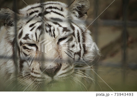 大牟田市 大牟田市動物園 ホワイトタイガー、 73943493