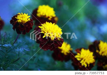 マリーゴールド ホットバックスプレーの花 73957753