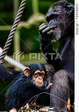 チンパンジーの親子 東京都・多摩動物公園 73958005