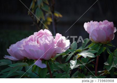 牡丹(ぼたん)の花に光が差し込んでピンク色が最高 73960908
