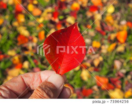 拾ったナンキンハゼの紅葉の葉っぱ 73964256