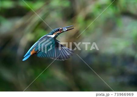 獲物をゲットしたカワセミ幼鳥メス 73966969