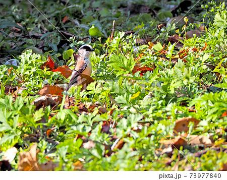草の上で直立する可愛い野鳥エナガ 73977840