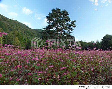 長野県信州駒ケ根の駒ヶ岳の裾野にある珍しく綺麗なピンクに染まる蕎麦畑の花のある風景 73991034