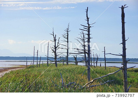 北海道別海町 野付半島のトドワラの枯れ木群 73992707