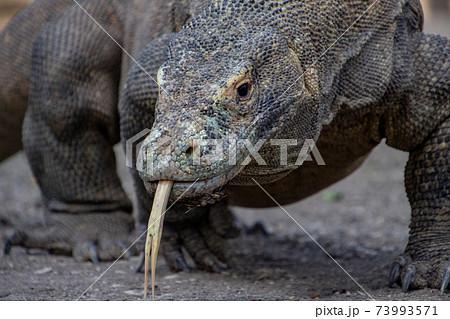 舌を出しているコモド国立公園のコモドドラゴン 73993571