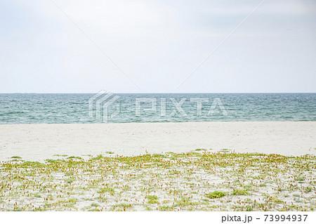 鳥取県弓ヶ浜のコウボウムギが咲く海岸 73994937