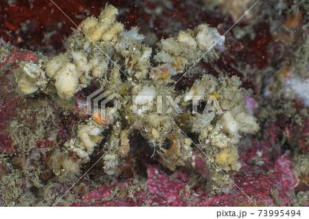 モクズショイ(蟹の仲間) (メルギー諸島、ミャンマー) 73995494